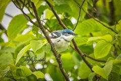 Cerulean Warbler 3