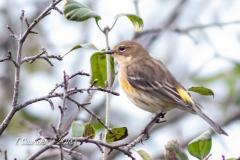Yellow-Rumped Warbler 6