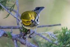 Black-Throated Green Warbler 1