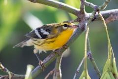 Blackburnian Warbler 6