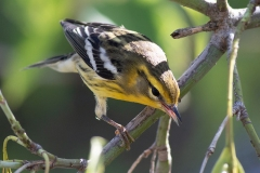 Blackburnian Warbler 7