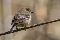 Pine Warbler Fall