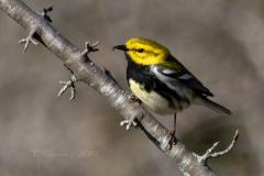 Black-Throated Green Warbler 4