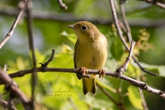 Yellow Warbler 10