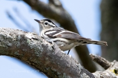 Black and White Warbler 2