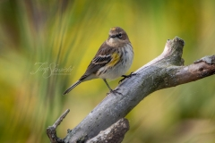 Yellow-Rumped Warbler 4