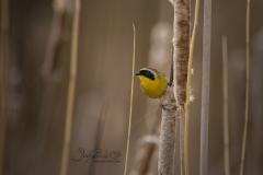 Common Yellowthroat in Marsh