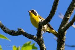 Common Yellowthroat 1