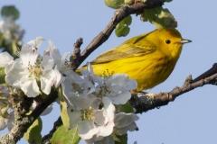 Yellow Warbler 12