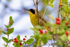 Common Yellowthroat 5