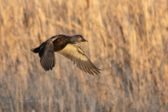 American Black Duck 1