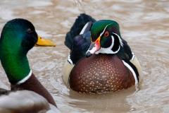 Wood Duck Drake 17