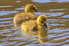 Canada Goose Gosling 3