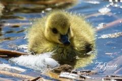 Canada Goose Gosling 1
