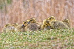 Canada Goose Gosling 2