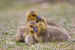 Canada Goose Gosling 4