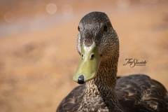 American Black Duck 2