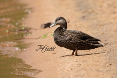 American Black Duck 7