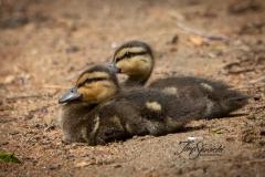 Black Duck Ducklings  3
