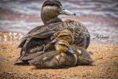 American Black Duck 6