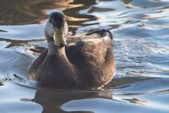 American Black Duck 3