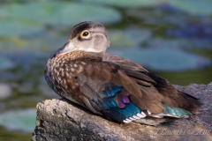 Wood Duck Hen 7