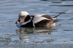 Longtail Duck