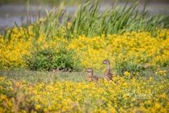 American Black Duck in Marsh Marigolds
