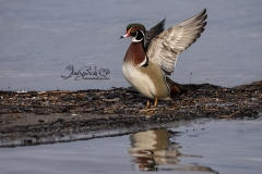 Wood Duck Drake 19