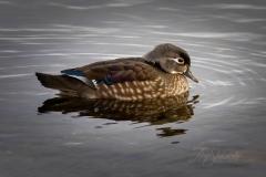 Wood Duck Hen 4