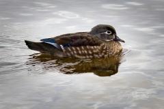 Wood Duck Hen 2