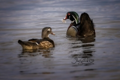 Wood Duck Hen and Drake 3