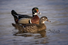 Wood Duck Hen and Drake 2