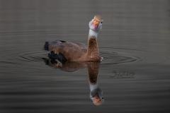 Whistling Duck Head Tilt