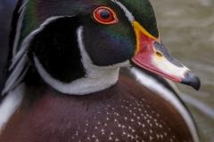 Wood Duck Drake 6
