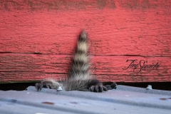Raccoon Baby Wipeout