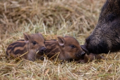 Baby Boars - Hanging in Parc Yurt