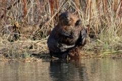 Beaver 5