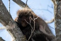 Porcupine 2