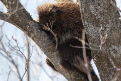 Porcupine 1