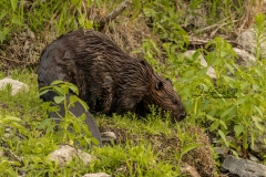 633A3799-BEAVER-SNACKING