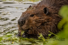 633A3962-ZOOMED-IN-BEAVER