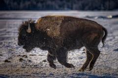 Bison 4
