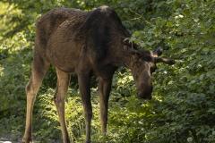 Moose Head Down