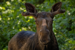 Zoomed Moose