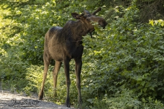 Young Bull Moose Eating