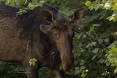 Staring Bull Moose
