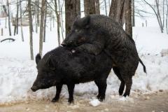 Boars Having Fun