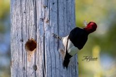 Red-Headed Woodpecker 5