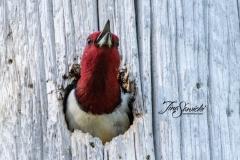 Red-Headed Woodpecker 11